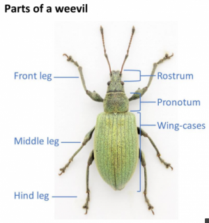 Parts of a weevil - illustration