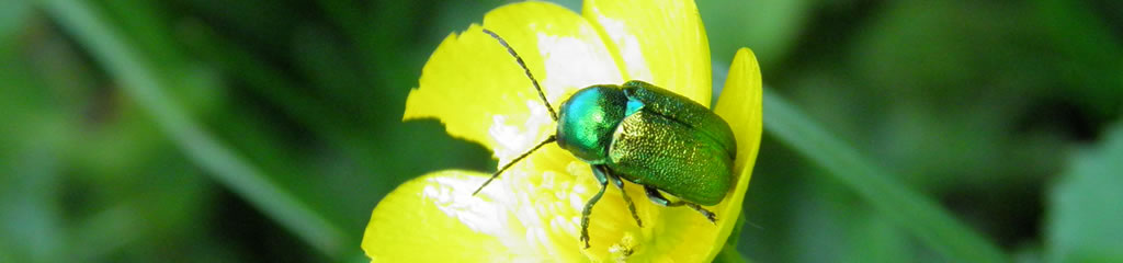UK Beetle Recording | UK Beetle Recording
