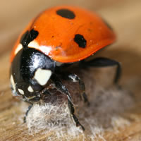 A 7-spot ladybird and the cocoon of its parasitoid wasp.
