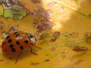 Harlequin ladybird preying on aphids