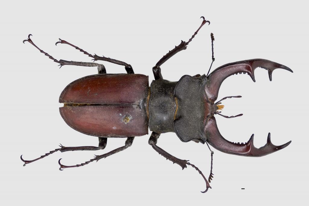 Жук - олень - lucanus cervus - насекомые - insects