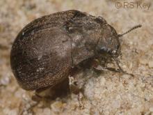 Byrrhus fasciatus