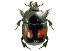 Margarinotus bipustulatus (image by Lech Borowiec)