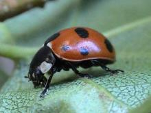 Coccinella septempunctata (Seven-spot Ladybird) (image by John Walters)
