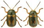 Cryptocephalus bilineatus